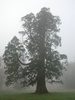 Sequoia_sempervirens-medium